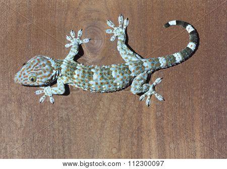 Thailand Gecko Reptiles