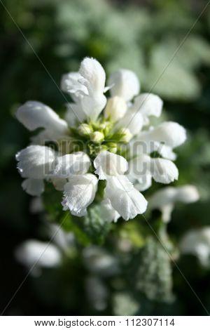 Flowers Of White Dead-nettle, Macro Of Herbs In The Herbarium