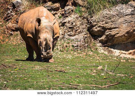 Rhinoceros, Lake Nakuru National Park, Kenya, Ceratotherium
