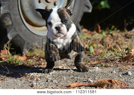 english bulldog puppy outdoors  running towards viewer