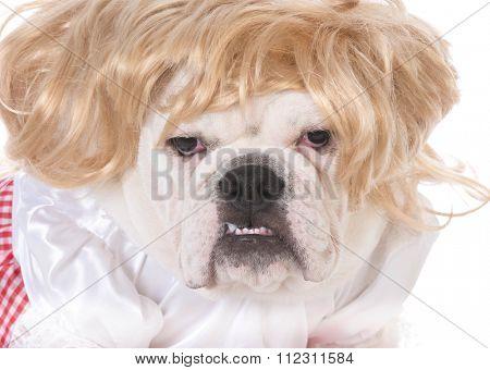 female bulldog wearing wig and dress on white background