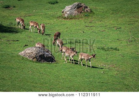 A Summertime View Of A Herd Of Fallow Deers (dama Dama) On The Green Meadow. These Mammals Belong To