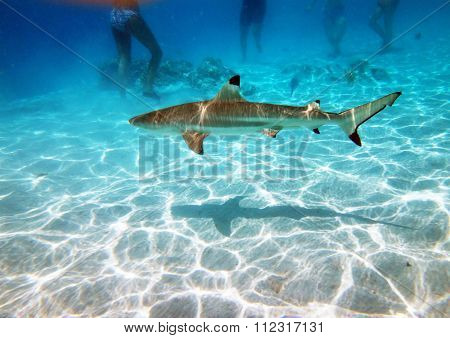 Sharks of Moorea
