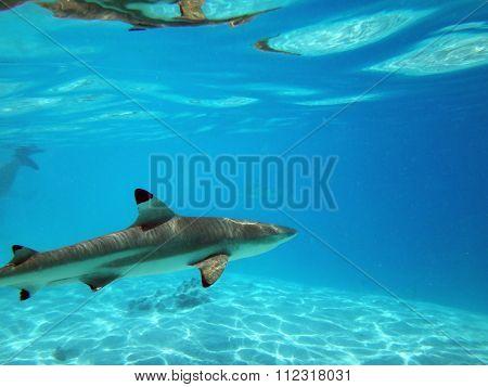 Sharks of Moorea