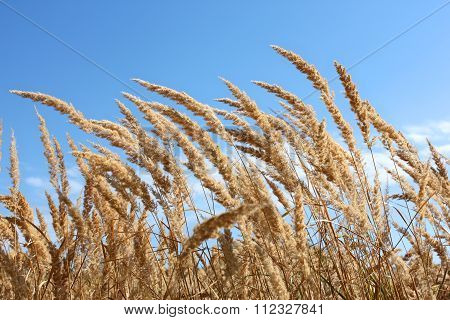 Dried Plants Of Cereal Weeds