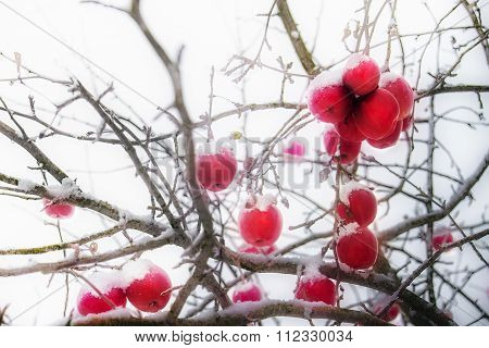 Frosted Red Apples In Winter