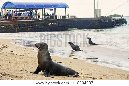 Puerto Villamil, Ecuador - November 22, 2015: Sea Lions In The H
