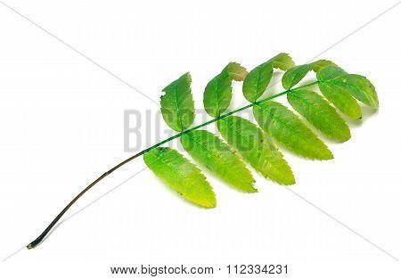 Green Rowan Leaf On White Background