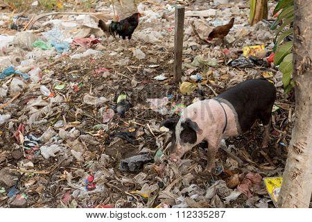 Muddy Pig Eating In A Pile Of Garbage