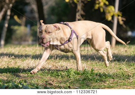 Portrait of an American Staffordshire terrier, A close up look.