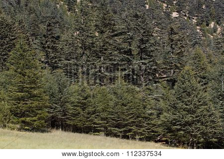 Highland plateau in cedar forest. Mountain way, Turkey