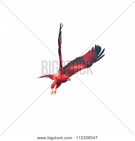 Red Falcon (black Kite) Bird Flying In The Sky Isolate On White Background