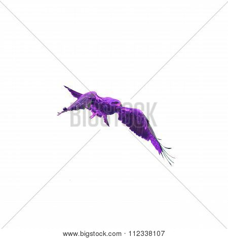 Purple Falcon (black Kite) Bird Flying In The Sky Isolate On White Background
