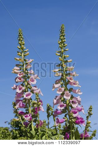 Two Foxglove Flowers In The Garden, Against Blue Sky