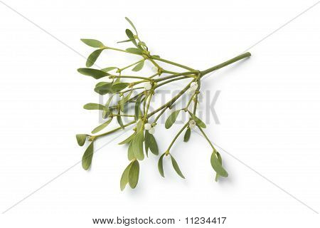 Twig of fresh mistletoe