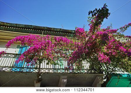 purple flowers on the terrace of a traditional house in Vasiliki village, Lefkada