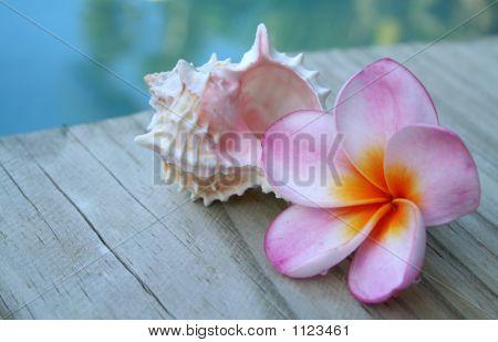 Pink Frangipani Flower  & Shell