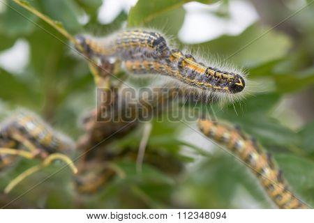Buff-tip (Phalera bucephala) caterpillars