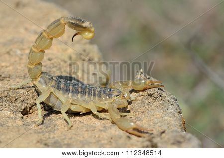 Common yellow scorpion (Buthus occitanus) in defensive posture in Azerbaijan
