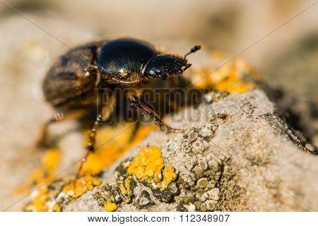 Aphodius contaminatus dung beetle