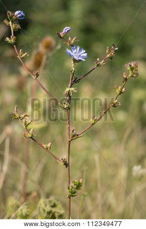 Chicory (Cichorium intybus) plant in flower