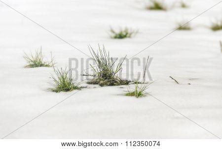 Green Grass Amid Snow