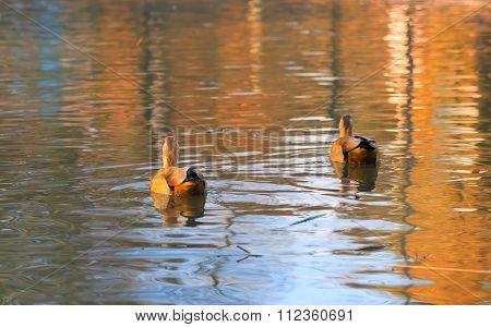 Wild Ducks On River Surface