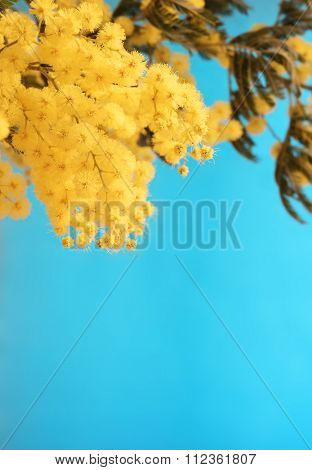 Mimosa on blue background