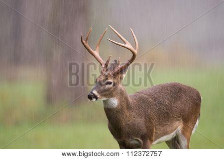 White-tailed Deer Buck In Rain