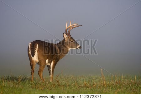 Large White-tailed Deer Buck In Foggy Meadow