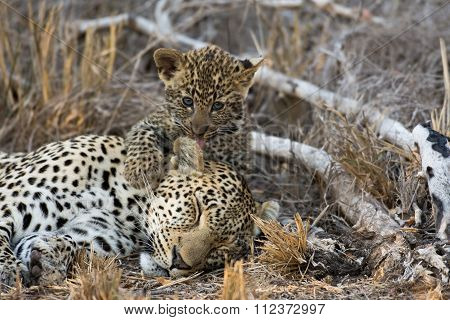 Female Leopard And Cub