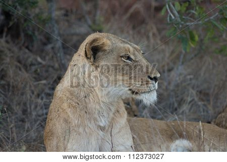 Female Lion At Nightfall
