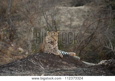 Leopard Resting On A Rock