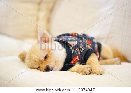 Sleepy Pomeranian Wearing Dog T-shirt Napping On The Sofa
