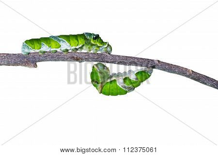 Isolated Mature Caterpillars Of Great Mormon Butterfly Hanging And Walking On Twig