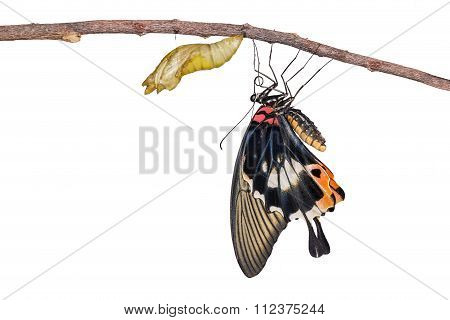 Isolated Female Yellow Body Great Mormon Butterfly  With Cocoon Shell