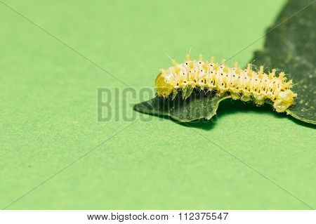 Caterpillar Of Eri Silk Moth On Leaf