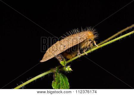Brown Moth In Nature