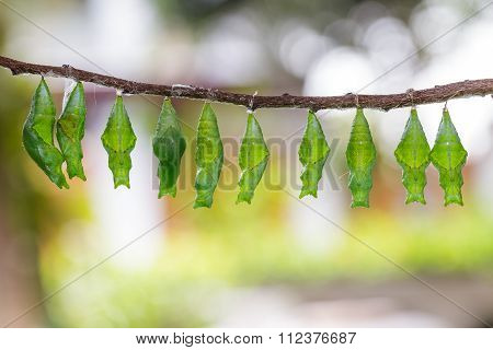 Chrysalis Of Common Mormon And Lime Butterfly