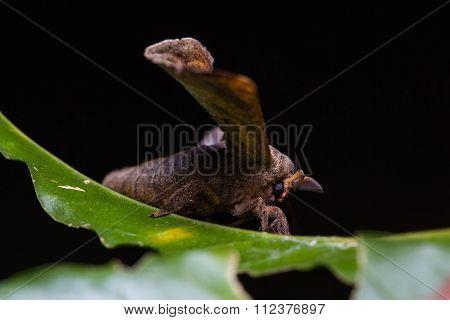 Gunda Moth On Green Leaf
