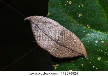 Hooktip Moth On Green Leaf