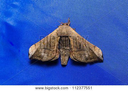 Moth On Blue Screen (fly Sheet)