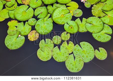 Waterlily leaves after rain