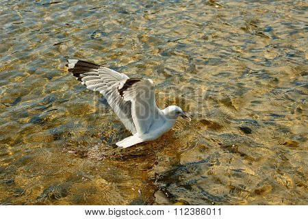 Seagull Eating Bread