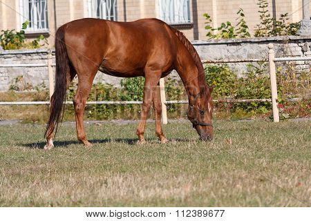 Brown Horse Grazing Illuminated By The Sun On The Racetrack