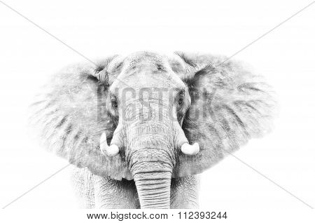 Elephant Portrait In High Key