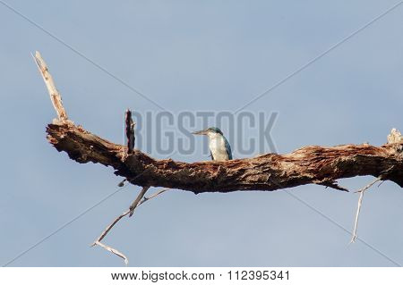 Beautiful Bird( Collared Kingfisher )Perching On The Best Branch