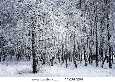 Birch Grove After Snowfall. Russia, Siberia, Novosibirsk Region
