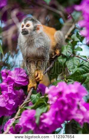 The Squirrel Monkey And Pink Flowers. The Squirrel Monkey Saimiri Sits In A Magnificent Environment