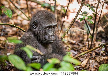 Lowland Gorilla In Jungle Congo. Portrait Of A Western Lowland Gorilla (gorilla Gorilla Gorilla) Clo